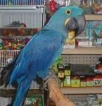 Talking Blue and Gold Macaws
