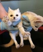 Cute Registered Fennec fox for sale