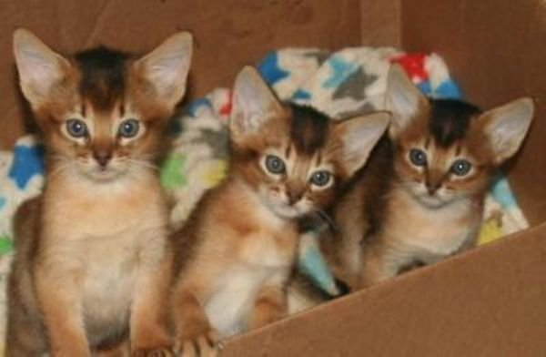 Abyssinian Kittens Ready For Sale
