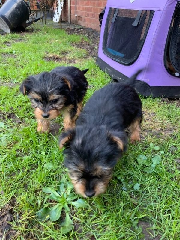 Miniture Yorkshire Terrier Puppies
