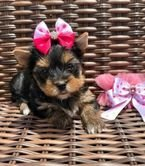 Yorkie Puppies available .971-318-3477