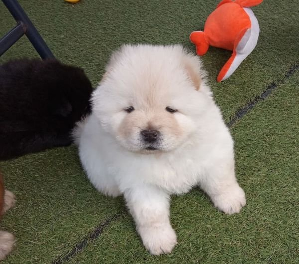 LOVELY CHOW CHOW PUPPY AVAILABLE