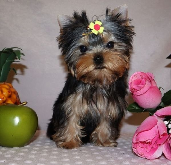 We have beautiful Yorkshire puppies available