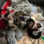 Cute Capuchin Monkeys for Sale