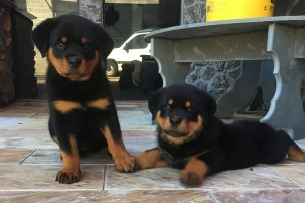Rottweiler Puppies Now Ready for sale( +971-5266-78530
