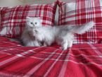 Adorable Persian kittens Available