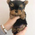 AKC registered male and female teacup Yorkie puppies ready for new homes