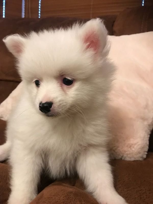 Adorable Pomeranian  Puppies for sale/whatsapp  055 226 3211