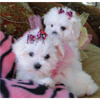 HOME TRAINED Teacup Maltese Girl & Boy