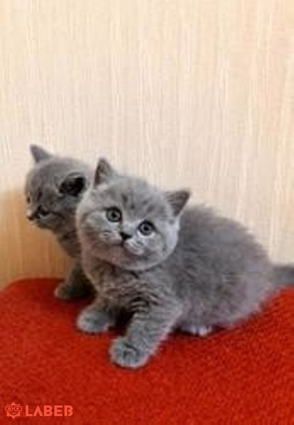 Playful British Short Hair Kittens Reagistered