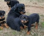 ottweiler Puppies Available for sale