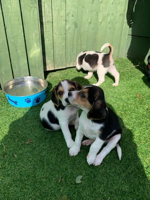 Gorgeous Beagle Puppies for Sale