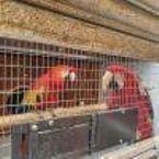 Beautiful Green Wing scarlet Macaws parrots for sale