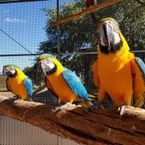 Blue Macaw parrots male and female for sale