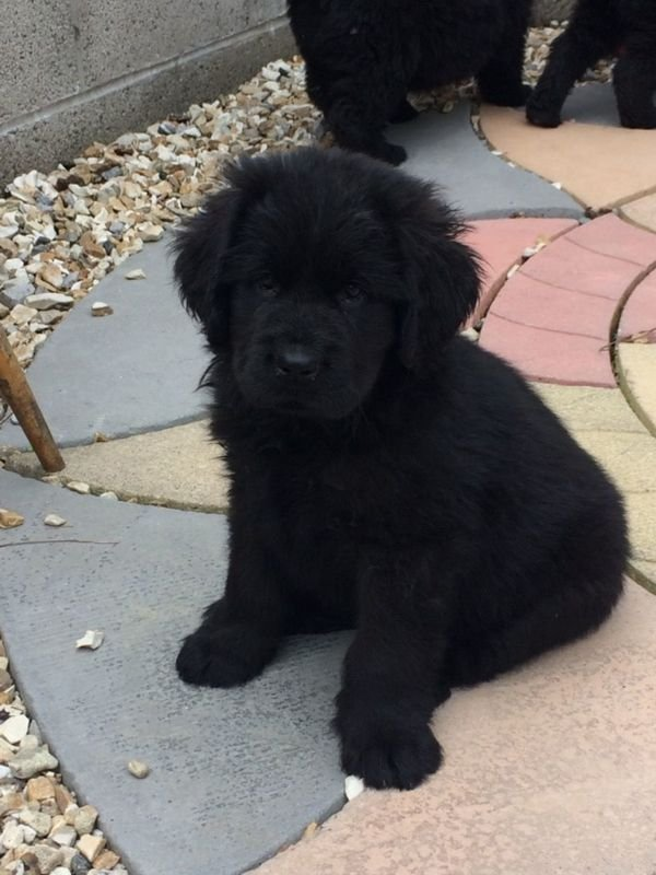 Beautiful Newfoundland Puppies for Sale
