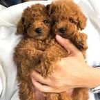 Rehoming male and female poodle puppies