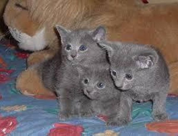 Blue Russian kittens for sale