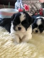 Lovely Shih Tzu puppies available for sale