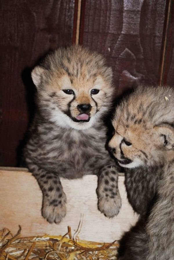 Well Tamed Cheetah cubs For Sale