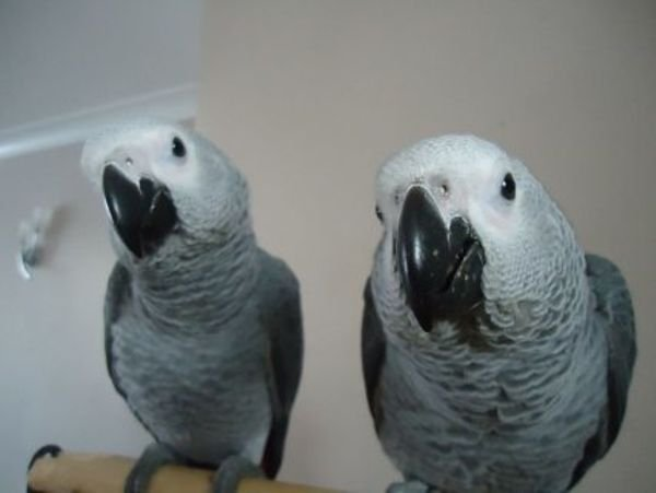 frican gray parrots male and female for sale