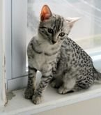 Beautiful Egyptian Mau kittens available for sale