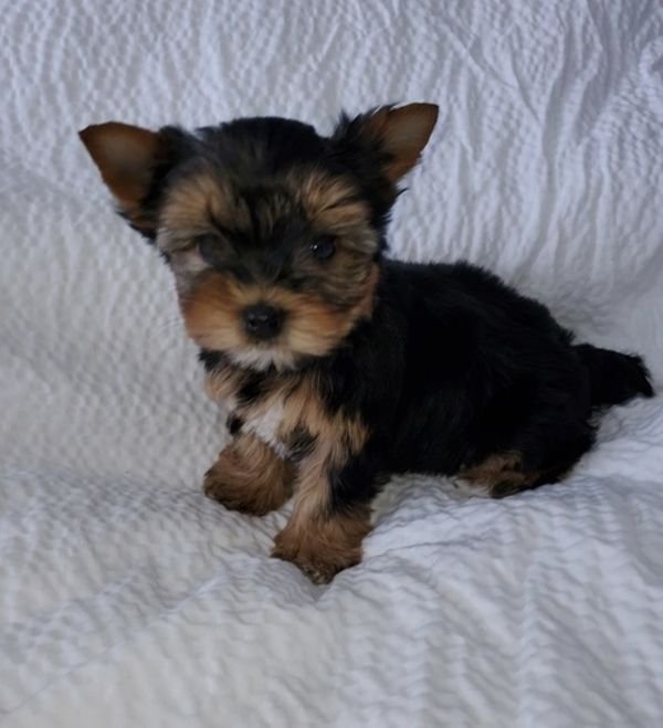 Cute Yorkshire Terrier Puppies