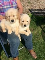 CHARMY GOLDEN RETRIEVER PUPS FOR A NEW FOREVER HOME