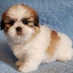Adorable Shih Tzu Puppies Available