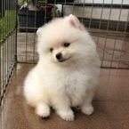 Healthy, home raised Teacup Pomeranian Puppies available now