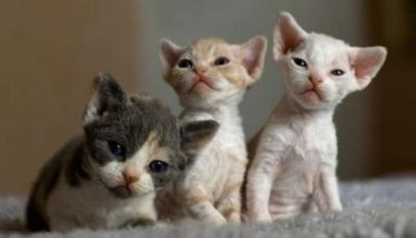 Playful Devon Rex  Kittens For sale