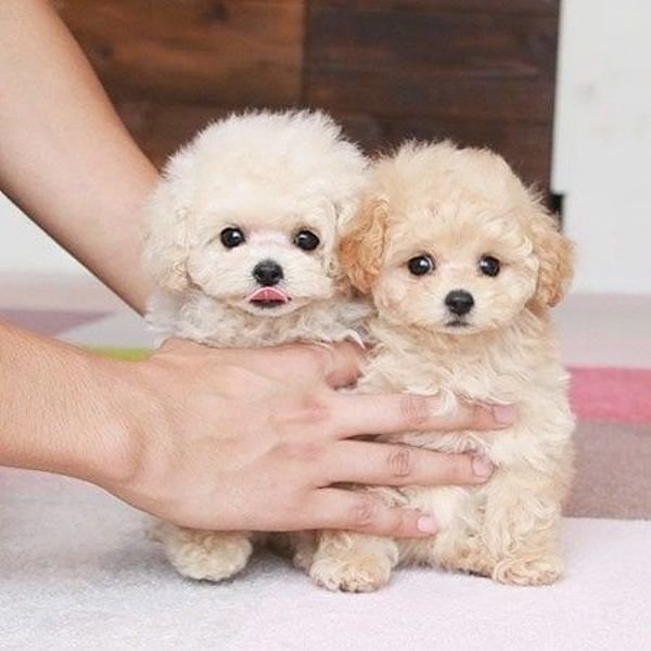 Akc Poodle pups ready to go