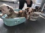 Lovely English Bulldog Puppies for Sale