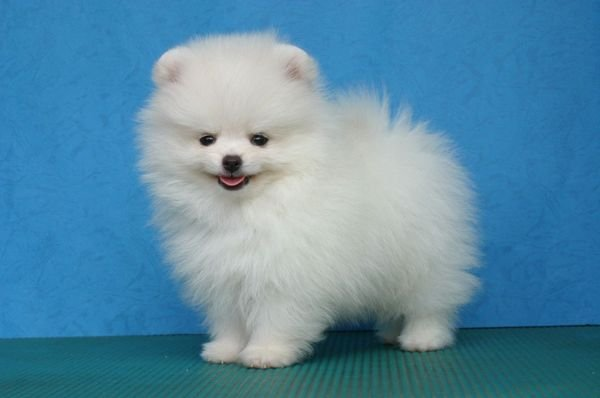 Cutest Teacup Pomeranian puppies for adoption