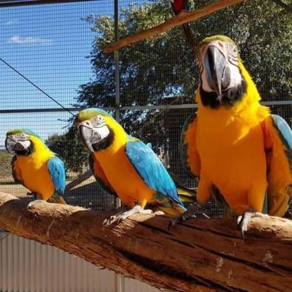Gold Macaw parrots for sale