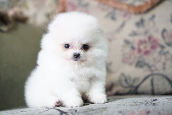Top Quality Pomeranian puppies