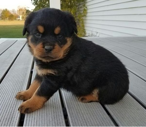 Rottweiler Puppies Available for sale