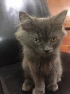 female british mix shirazi age 3 months and a half. take the first and scound vaccines and