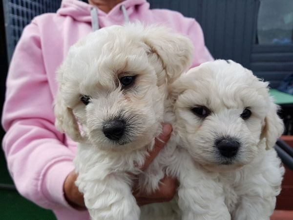 Beautiful adorable bichon friese puppy for rehomeing