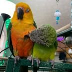 Male and female conures parrot