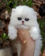 Adorable Persian kitten available for sale