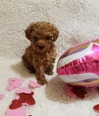 Fluffy Toy Poodle Puppies Available