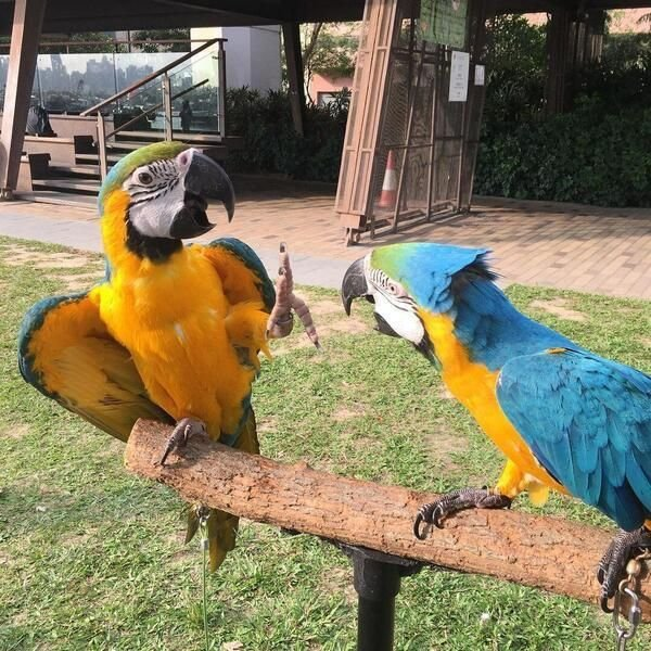 Pair of Blue and Gold Macaw Parrots For Sale