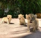 Male and female Lion Cubs for sale