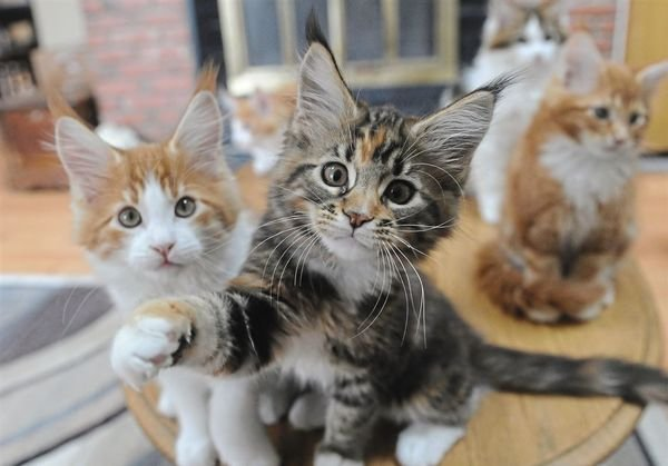 Pure Breed Maine Coon Kittens for sale