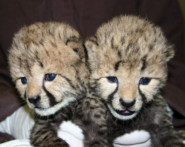 Cheetah Cubs, Lion Cubs and Tiger Cubs available