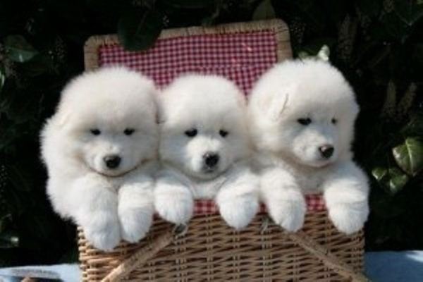 Sweet Samoyed puppies for sale