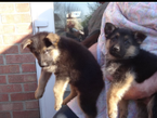 now have lovely German Shepherd puppies for sale.