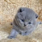 LOVELY BRITISH SHORTHAIRE KITTEN AVAILABLE