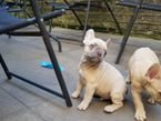 French bulldog puppies for adoption female