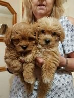 Cockapoo puppy for rehoming